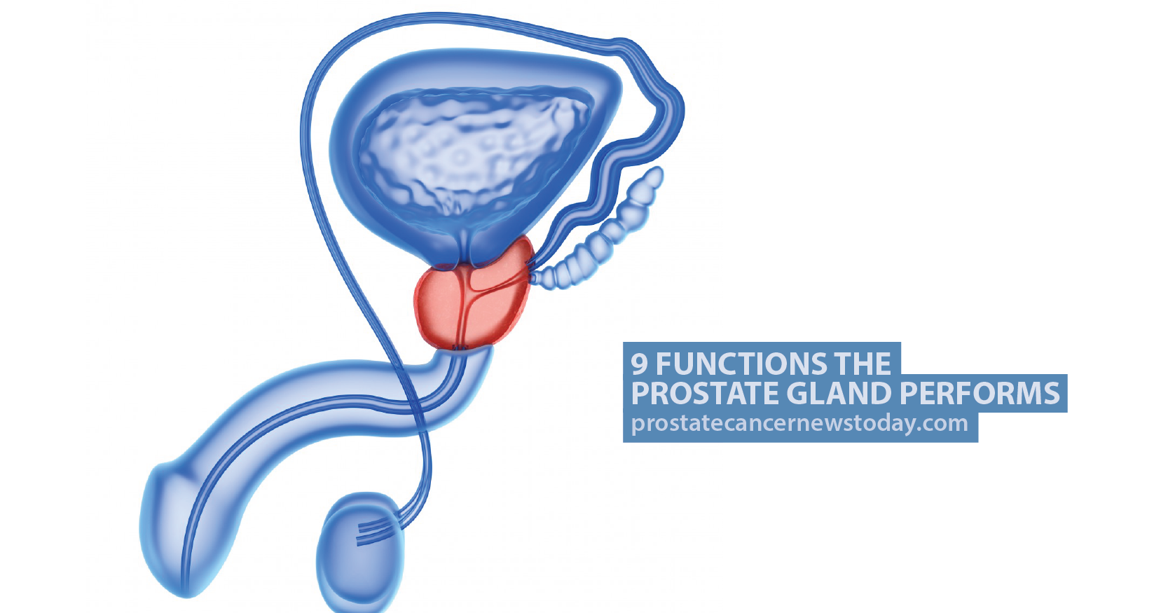 9 Functions The Prostate Gland Performs Prostate Cancer News Today
